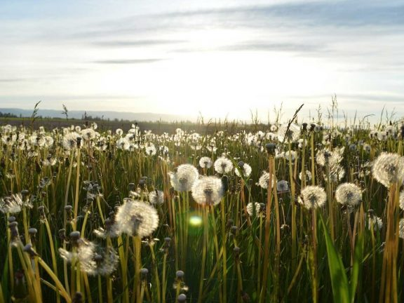 Field full of dandelions - spreading your thought leadership